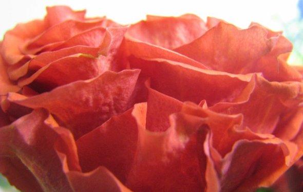 Роза с невероятно плотным